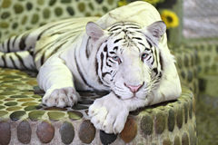 White tiger in relax. Royalty Free Stock Images