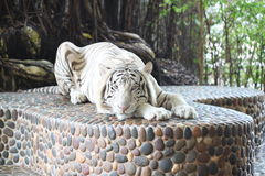 White tiger in relax. Royalty Free Stock Photography