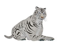 White tiger relaxing Royalty Free Stock Images