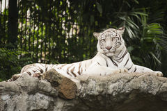 White tiger rest on the rock Royalty Free Stock Image