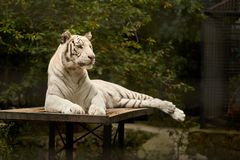 White tiger at rest Stock Photo
