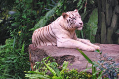 White Tiger Resting Stock Photo