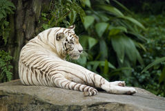 White tiger resting. A white tiger lazing around in the afternoon Royalty Free Stock Photo