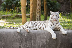 The white tiger resting Stock Images