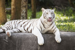 The white tiger resting Royalty Free Stock Image