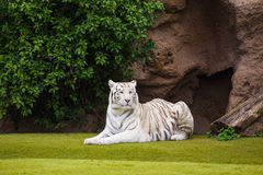 White tiger. Resting on the grass in the park Stock Image