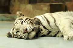 White tiger resting Royalty Free Stock Photos