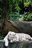 White Tiger 7. White tiger resting on its hand, feeling bored and depressed Stock Image