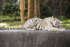 The white tiger resting Stock Photo