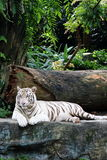 White Tiger 6. White tiger resting on a rock, feeling depressed Stock Images