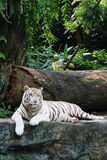 White Tiger 2. White tiger resting on a rock, staring into the future Royalty Free Stock Photography