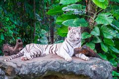 The white tiger that is resting on the rocks, under the shade of the wood. S stock photo