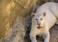 white tiger resting on rocks royalty free stock photos