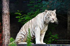 White tiger resting at the zoo Royalty Free Stock Photography
