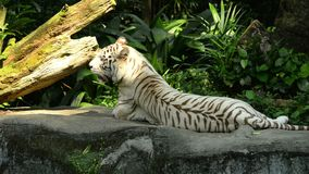 White tiger resting in the zoo.  stock footage