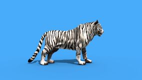 White tiger roar animals side green screen 3D Rendering Animation