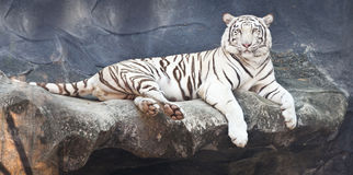 White tiger on a rock Royalty Free Stock Photo