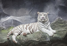 WHITE TIGER on a rock Royalty Free Stock Photos