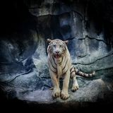 White Tiger on the rock stock photography