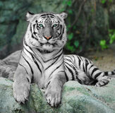 WHITE TIGER on a rock in zoo. A WHITE TIGER on a rock in zoo royalty free stock image