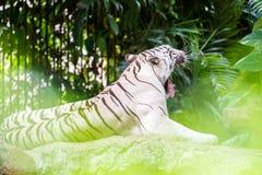 A White tiger on a rock Stock Photos