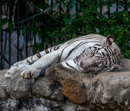 White Tiger On a Rock In Zoo Stock Photography