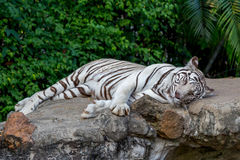 White Tiger On a Rock In Zoo Royalty Free Stock Photo