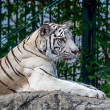 White Tiger On a Rock In Zoo Stock Image