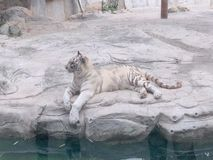 White tiger`s comfortable life stock photos