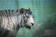 White Tiger in Semidarkness Royalty Free Stock Image