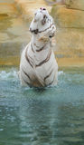 White tiger shakes water off after bathing Stock Image