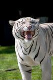 White tiger showing his fangs. White tiger saw an opponent and protecting his territory stock photos
