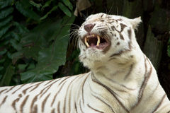 White tiger showing teeth Stock Photography