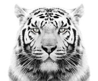 White tiger. White Siberian tiger against snow Royalty Free Stock Photos