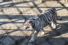 A White Tiger in the Siberian Tiger Park, Harbin, China. Harbin Siberian Tiger park is the largest one in the world royalty free stock images