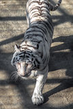 A White Tiger in the Siberian Tiger Park, Harbin, China. White tigers in the Siberian Tiger Park, Harbin, China. Harbin Siberian Tiger park is the largest one in royalty free stock photos