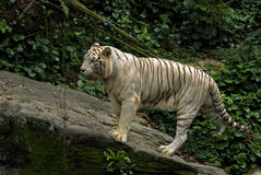 White tiger, Singapore Royalty Free Stock Image