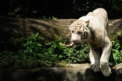 White tiger. In Singapore zoo Stock Images