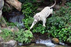 White Tiger. In Singapore zoo Royalty Free Stock Photo