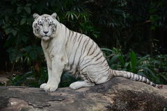 White Tiger. In Singapore zoo Royalty Free Stock Photography