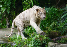 White tiger in Singapore Zoo. The zoo attracts about 1.6 million visitors each year Royalty Free Stock Image