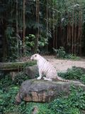 White Tiger at Singapore Zoo Stock Photography