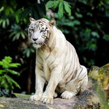 White Tiger. A White Tiger Sitting on a Fallen Log Stock Photography