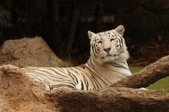 White tiger sitting next to tree branch. A sleepy tiger sitting next to a tree branch Royalty Free Stock Images