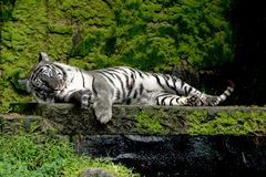 White tiger sleep on stone in forest. At Thailand stock image