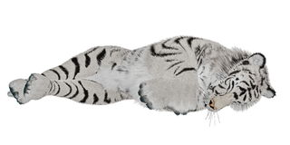 White tiger sleeping Royalty Free Stock Images
