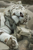 White tiger sleeping. White tiger at rest after meal royalty free stock image