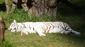 White tiger sleeping. A big adult albino tiger resting in a zoo in mexico, big white tiger lying in a shadow and light area, feline resting over a grass field Royalty Free Stock Photography