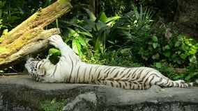 White tiger sleeping on a rock.  stock video footage