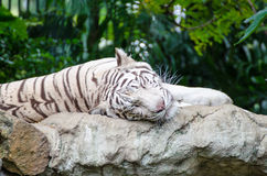 White tiger sleeping on a rock Royalty Free Stock Photos